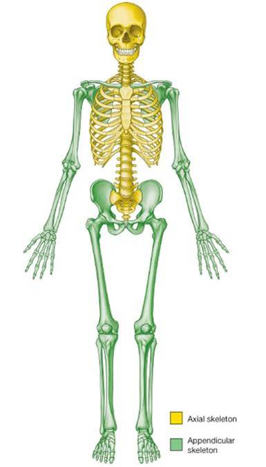 development of human skeletal system - introduction, Skeleton